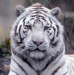 5. Qui est contre la chasse au tigre blanc?