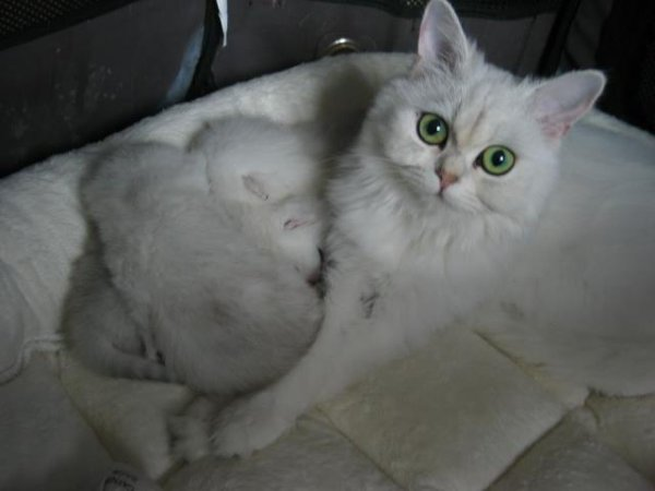 3british shorthair a reserver