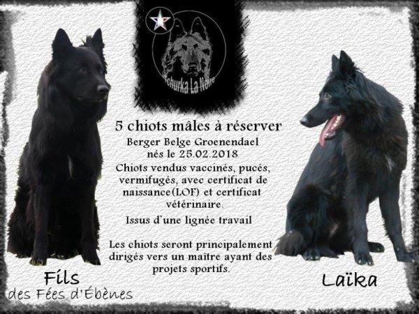 Chiots Laika & Fils