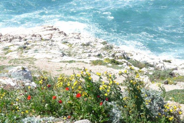 Fleurs et mer à Marseille ( entre la Madrague de Montredon et les Goudes )