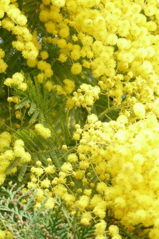 Cette année le mimosa avait un mois d'avance ( photo Pierre Paul )