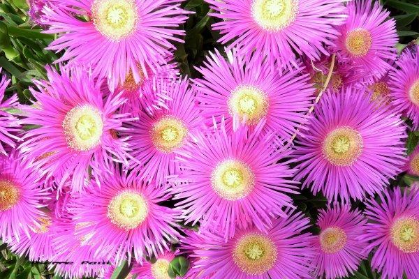 Ficoïde en fleurs ( Photo Pierre Paul )