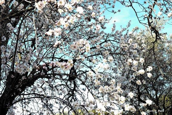 Un excellent mois de Mars pour tous (amandier en fleurs )