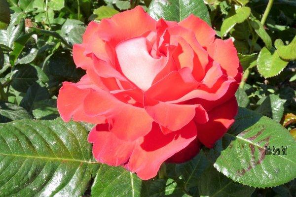 Je regarde une rose et je suis apaisé  ( Victor Hugo )