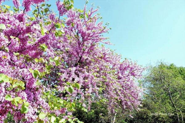 Vive le printemps à Marseille parc Borely  ( un arbre de Judée au milieu des autres arbres )
