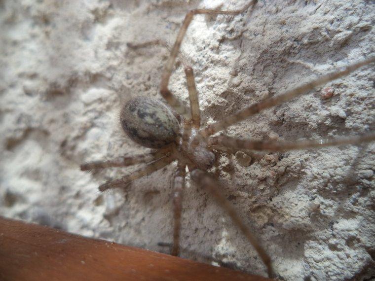 Araignée d'appartement (tegenaria domestica)