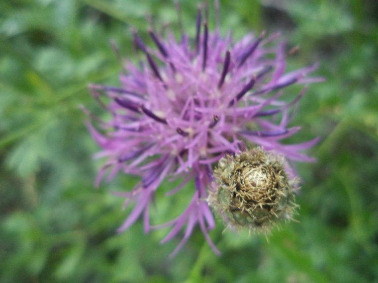 Les Fleurs de l'Ubaye (2)