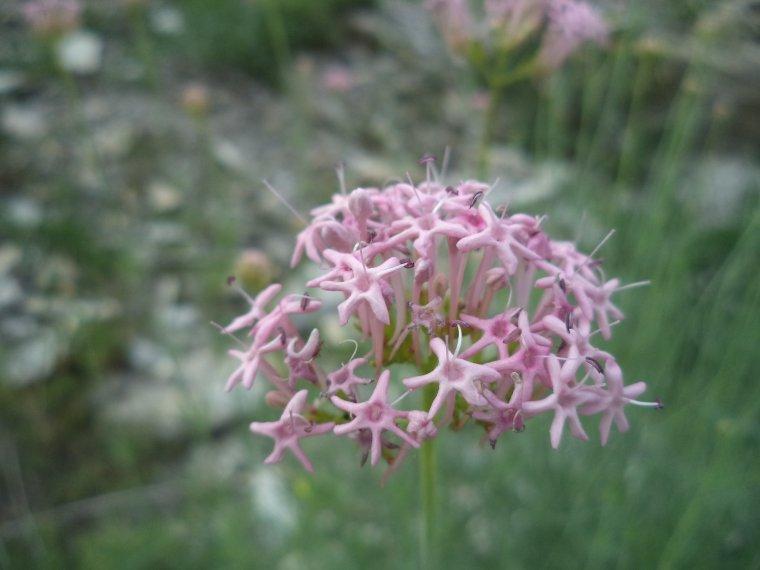 Les fleurs de l'Ubaye (photos 3)
