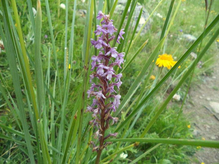 Les fleurs de l'Ubaye (photos 6), col de Vars