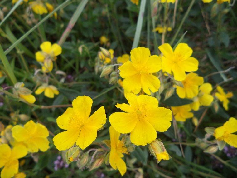 Les fleurs de l'Ubaye (photos 7), col de Vars
