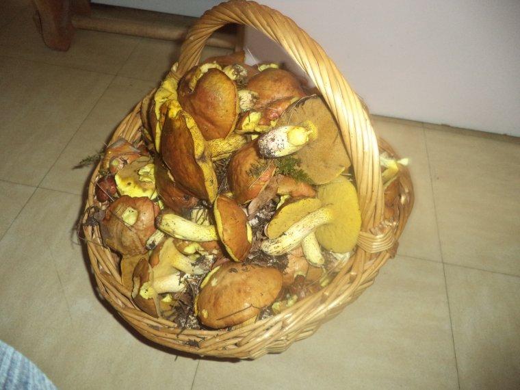 Énorme récolte de champignons...plus de 15Kg !!! Record !