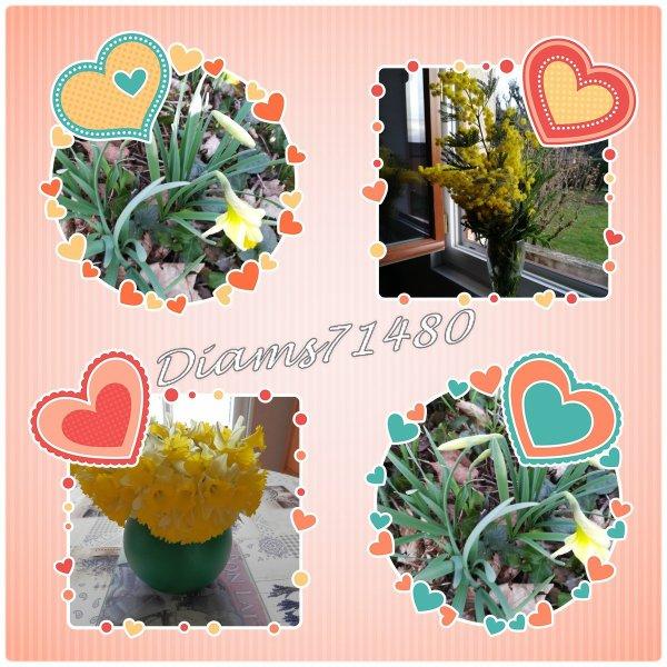 Premières fleurs du printemps ! Le mimosa et les jonquilles!