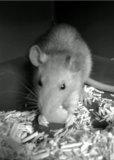Photo de rat-vit-au-lit