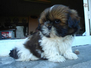Photo de xShih-Tzu
