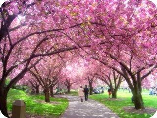 La Celebration Des Cerisiers En Fleurs Le Hanami Le Japon Et Ces