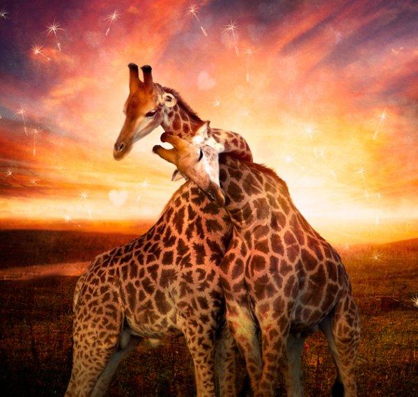 """"""" C'est tout mimi """" ! """" Tout l'hiver autour des girafes """"..."""