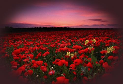 """"""" Coquelicots, fleurs teintées de rubis """"..."""
