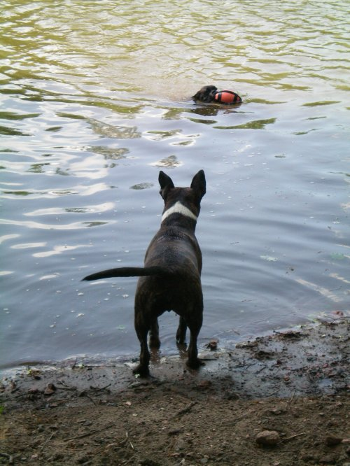 Finalement nos maîtres ont décidés de nous emmenés nager!!!! sauf Boulette qui n'aime pas trop l'eau