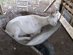 Le fromage de chèvre.