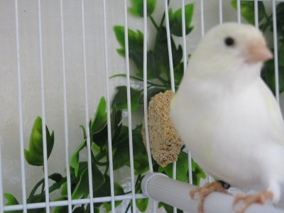 Mâle Malinois blanc