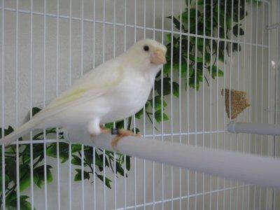 Un autre mâle Malinois blanc