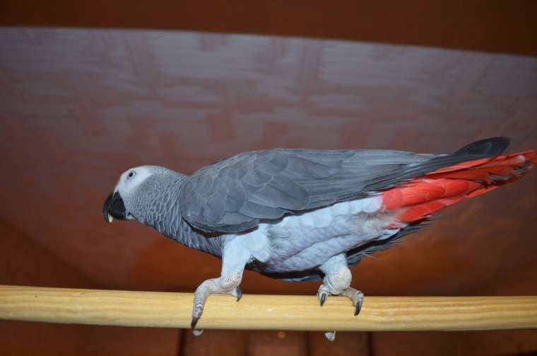je vous présente mooky .mon gris du Gabon âgé d'un an :-)