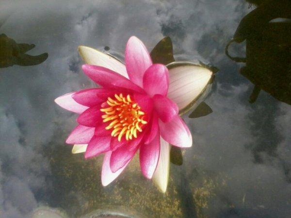 ma premier fleur de nenuphar vient declor >w