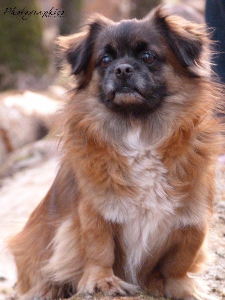 Epagneul Tibetain (Mon chien)