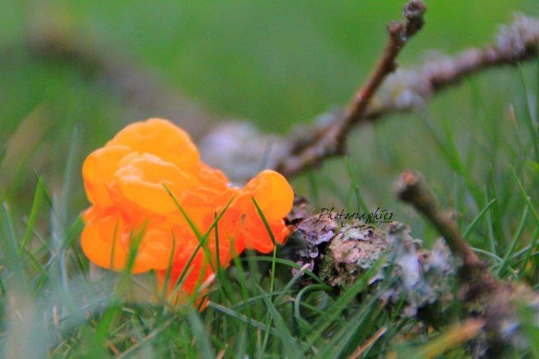Champignon parasite : Tremella mesenterica