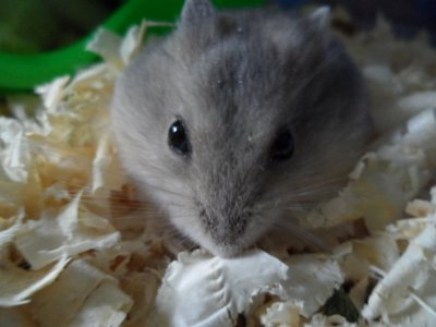 Mon Hamster? Il couine autant que Justin Bieber, mais lui au moins il a des poils !