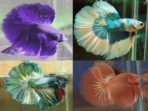 le monde des betta splendens