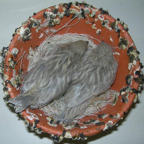 zwartopaalgeel 2011