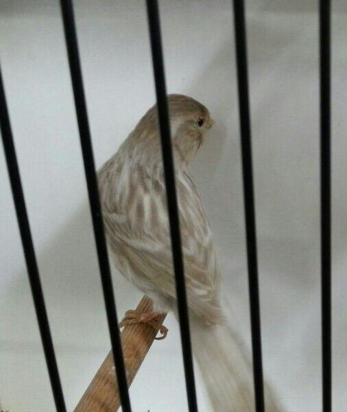Kweekman bruinopaalwit dominant intensief.
