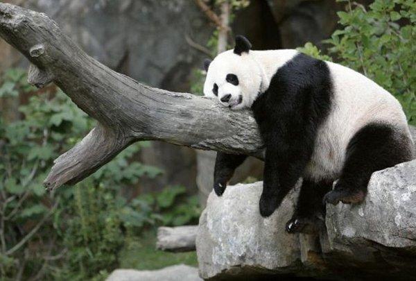 Des Pandas à Pairi Daiza en Belgique pour 15 ans : objectif bébé !
