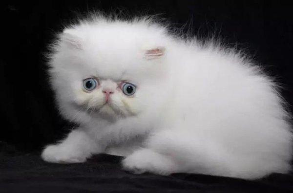 Avanza J'Hallucine male blanc aux yeux bleu disponible pour Expi, Reproduction