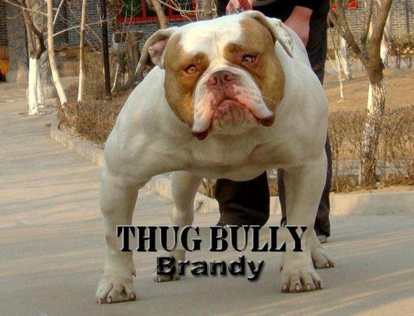Americanthugbully Brandy of Bulltime (12mois) : Fille D'Argos&Debby...