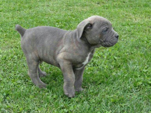 Cane corso a vendre il a 7 semaine pucé et vacciné il s'appelle iago!!!