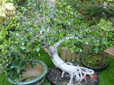 blog de ma formation bonsai caecilii travail l 39 arbre en pot. Black Bedroom Furniture Sets. Home Design Ideas