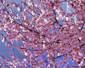 arbre cerisier japonais