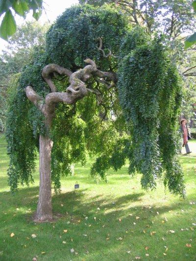Sophora japonica pleureur d part bis for Arbre de jardin a croissance rapide