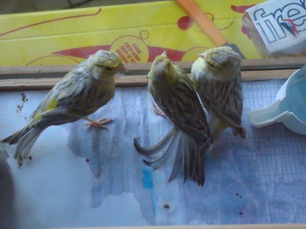 filhotes agata pastel amarelo mosaico