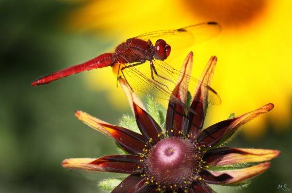 « A un piment ajouter des ailes : une libellule rouge ! »