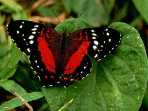 « L'amour : la métamorphose du papillon à rebours. Il naît papillon et meurt chenille. »