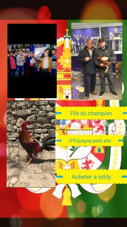 Fils du champion D'Espagne 2015 (petit aile)de chez Eddy de limoge