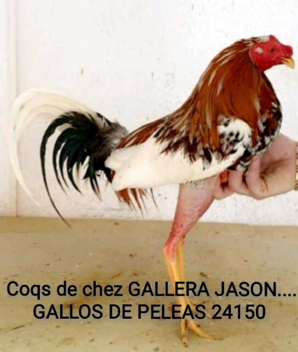 Visite chez gallera Jason à Toulouse.. GALLOS DE PELEAS 24150