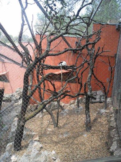 Le lémurien vari roux