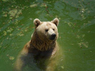 Les ours brun de Syrie