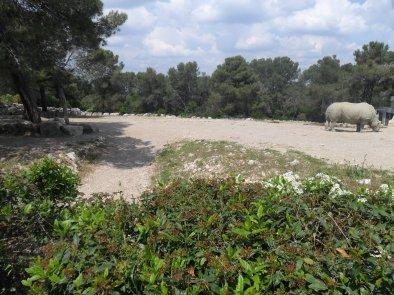 Les rhinocéros blanc du Sud