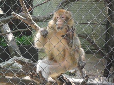 Les macaques magot