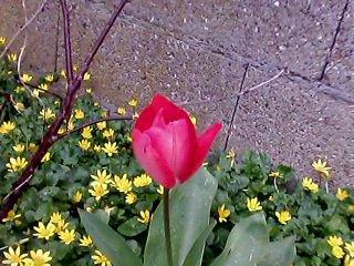 tulipe dand mon jardin